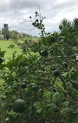 5 Year Old Meyer Lemon Tree in Backyard