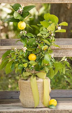 Meyer Lemon Gift Tree