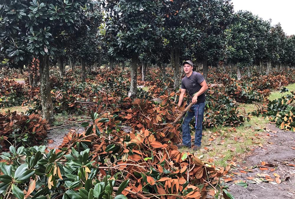 Pruning Magnolia Trees