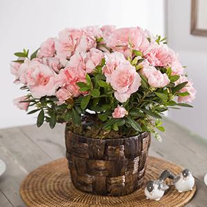 Housewarming Blushing Azalea Plant