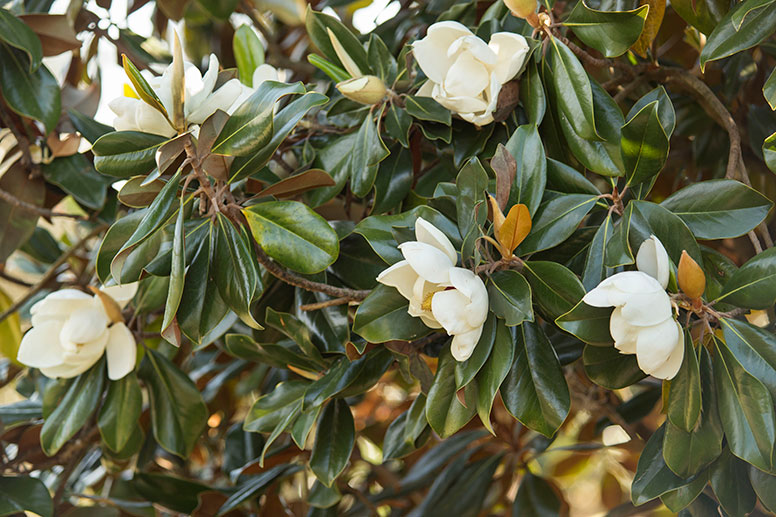 Closeup of Southern Magnolia Tree Blooms in Grove