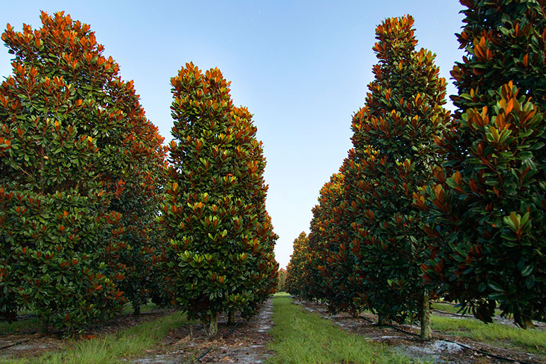 Southern Magnolia Tree Grove
