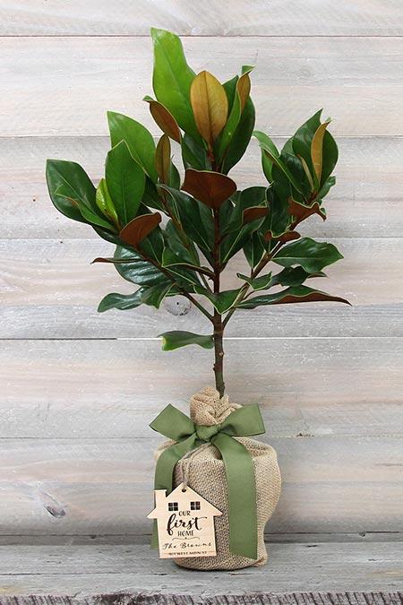 Southern Magnolia Tree