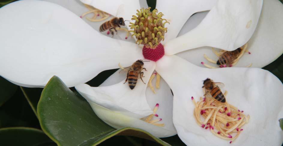 Honey Bees on Magnolia Bloom