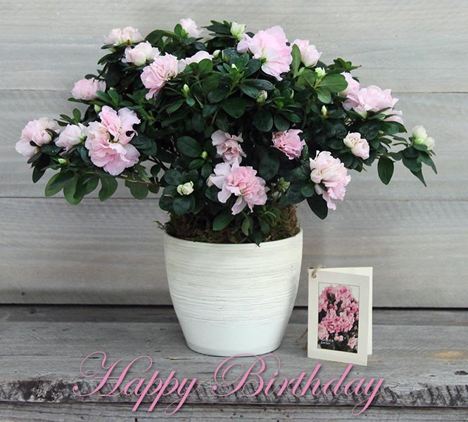 Blushing Azalea - Happy Birthday