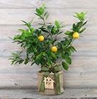Sunshine Citrus Housewarming Lemon Tree & Keepsake