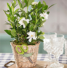 Gardenia Plant for Everyday Occasions
