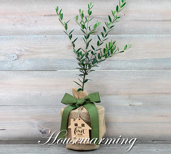 Housewarming Olive Tree with Keepsake
