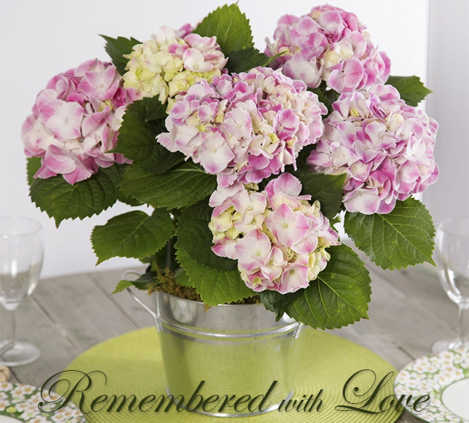 Memorial Pink Hydrangea  - Remembered with Love