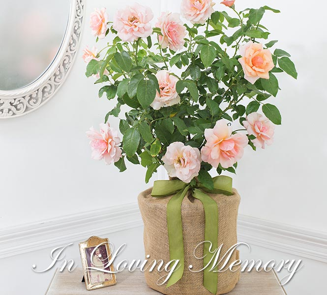 Mother of Pearl Rose - In Loving Memory