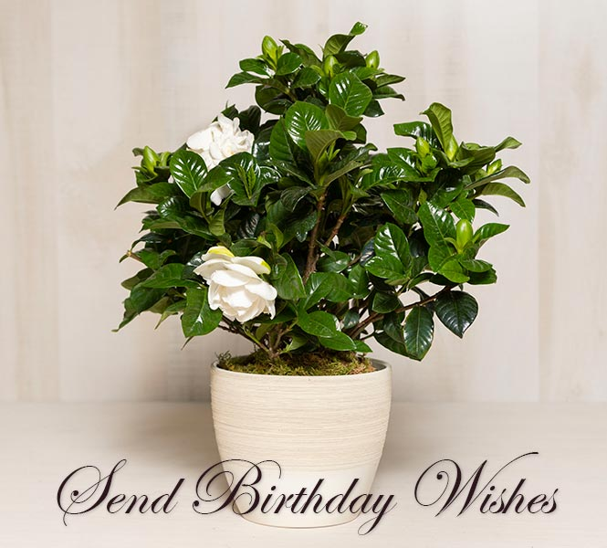 Potted Gardenia - Send Birthday Wishes
