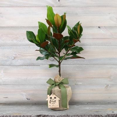 Southern Magnolia Tree Housewarming Gift Keepsake Medium The