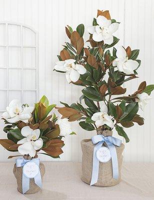 Baby Boy Southern Magnolia Tree The Magnolia Company